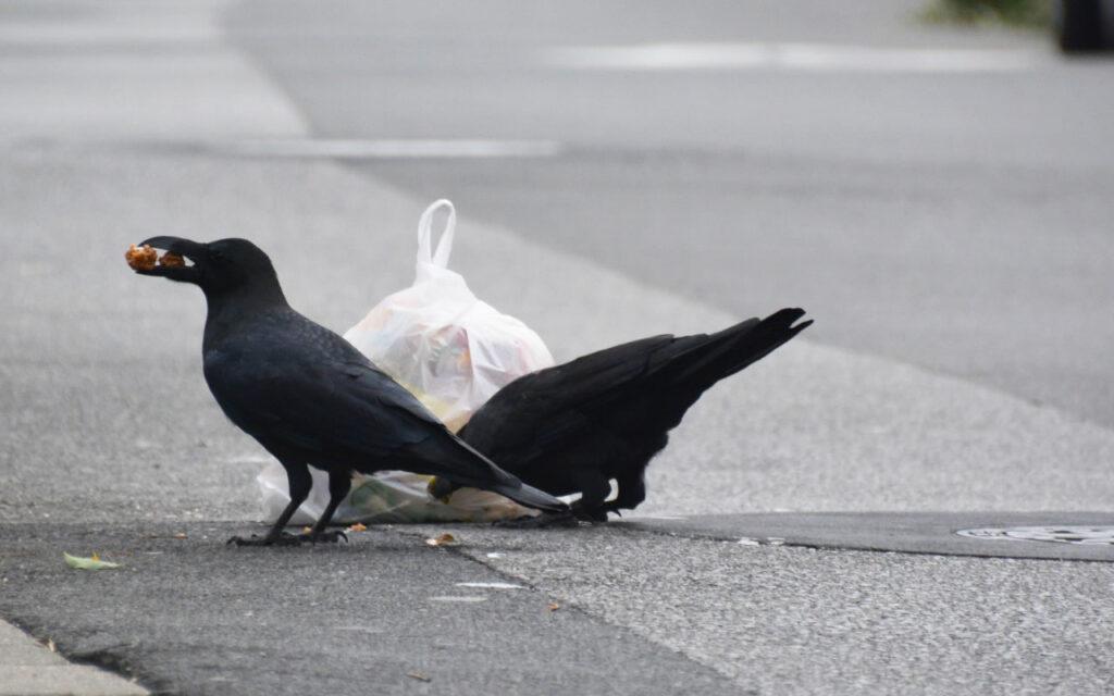 Crows pecking garbage a bag